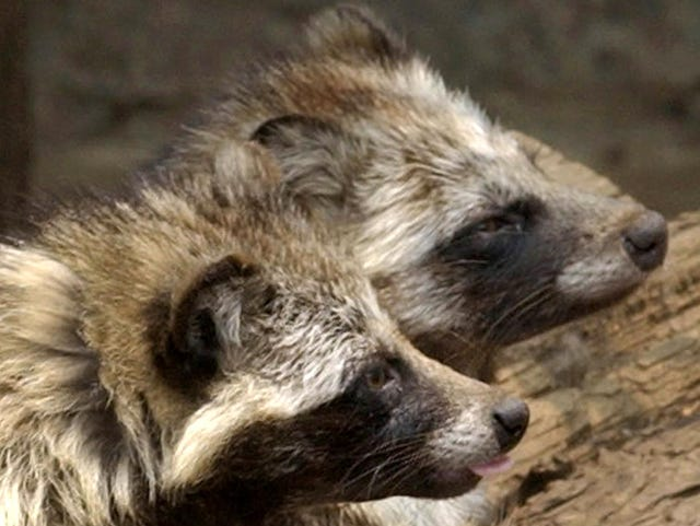 Raccoon dogs, 'hissing and screaming,' are terrorizing English village