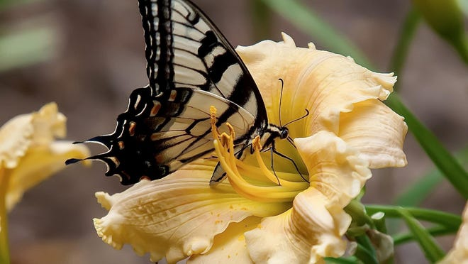 This Eastern Tiger swallowtail is finding his feast on a Rainbow Rhythm Orange Smoothie daylily.