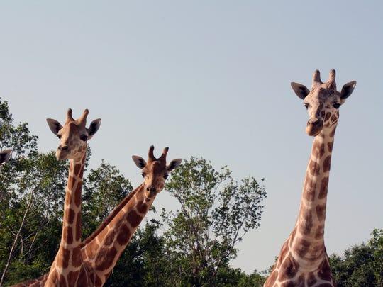 nz-giraffes-4a.jpg