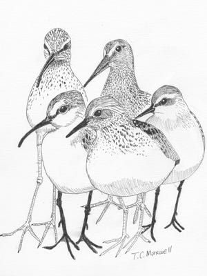 """Different species of """"peep"""" sandpipers that occur at San Angelo."""