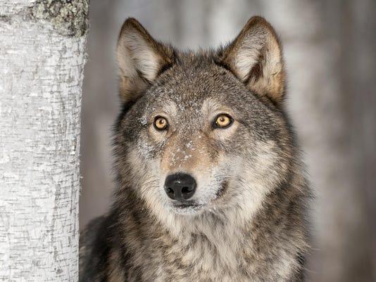 DFP 0601_wolf_pix