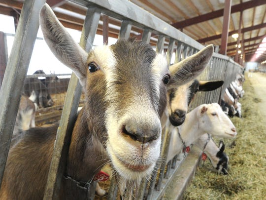 There are hundreds of goats on the LaClare Farms goat