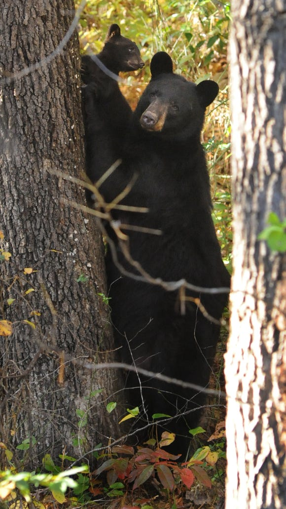 A black bear and her two cubs wow visitors along the Blue Ridge Parkway. Black bears have been tearing tents and taking food from campers in Panthertown area of Nantahala National Forest.