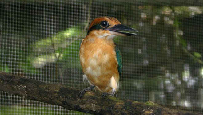 A Micronesian kingfisher is shown in this undated file photo.