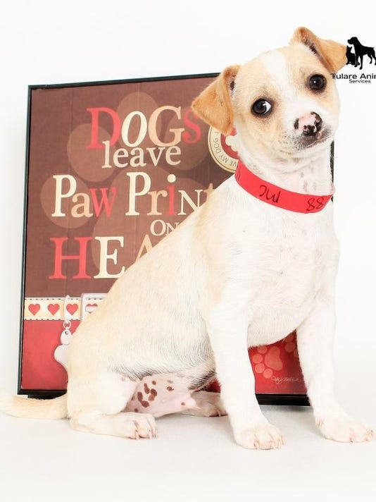 Jay-13106 is a 3 mon old, male Chi mix.  He is a very loving little guy that.jpg