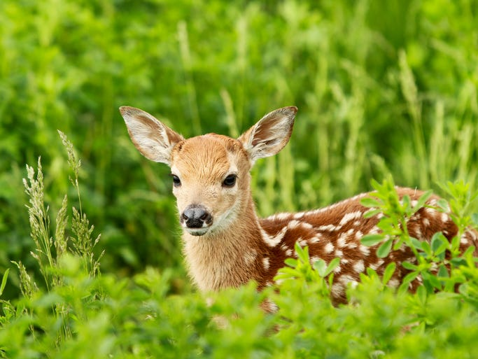 A fawn stands in grass - Eastern Sioux Falls.