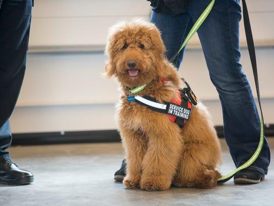 Bunker, a 10-month old Golden Doodle service dog in