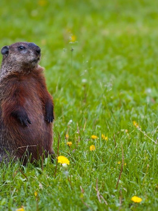 Groundhog-Standing2.jpg
