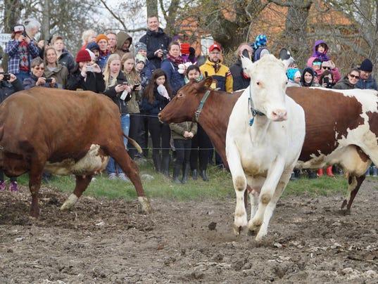 AP SWEDEN COW RELEASE I SWE