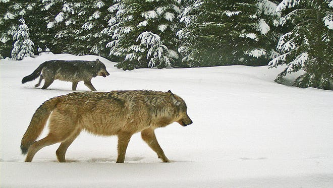 Two adult wolves from the Walla Walla Pack were caught on remote trail camera Jan. 16, 2016 in northern Umatilla County.