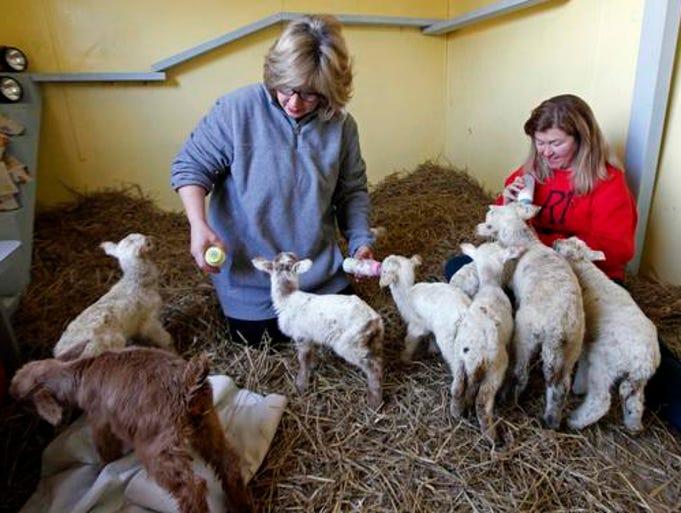 Lambs goats rescued from muncie farm - Muncie craigslist farm and garden ...