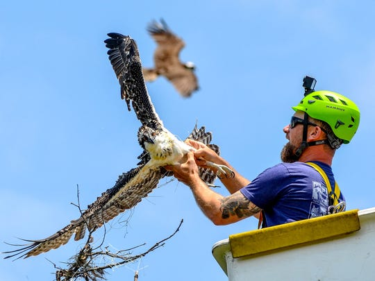 Ben Wurst, of the Conserve Wildlife Foundation of New Jersey, frees a baby osprey entangled in netting in its nest as the mother osprey flies overhead. The baby was electrocuted a few weeks later.
