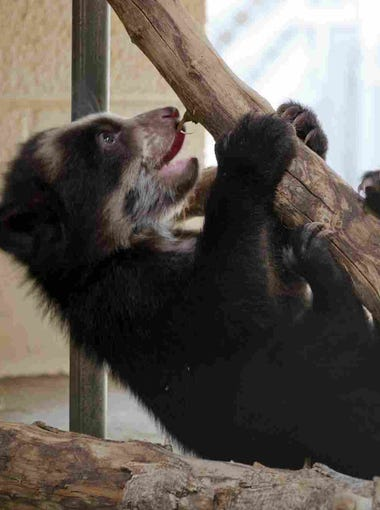 The Phoenix Zoo will introduce its 5-month-old Andean