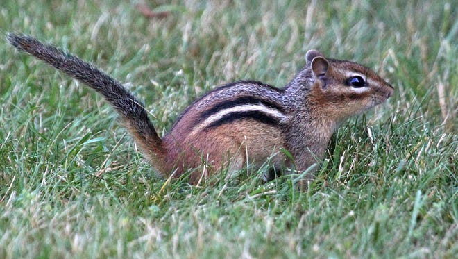 Chipmunks Are Booming But Get Ready
