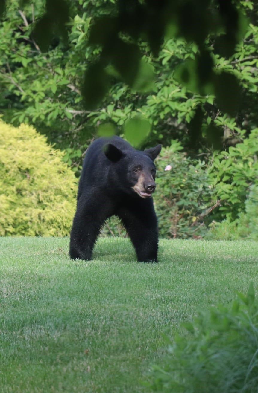 Black bear white plains new york