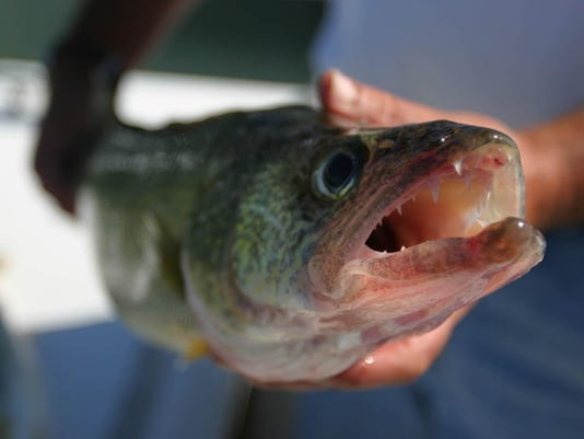walleye closeup 2 .jpg