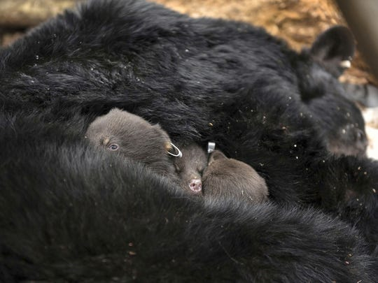 The three baby black bears are returned to the warmth