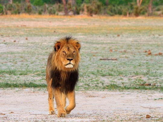Cecil the lion roams on the plains in Hwange National Park on Nov. 18, 2012 in Zimbabwe