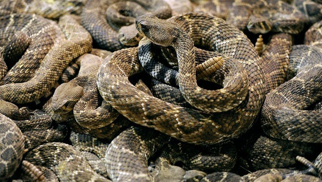 A rattlesnake sits atop a pile of other rattlesnakes in the pit during the 2015 World's Largest Rattlesnake Roundup in Sweetwater.