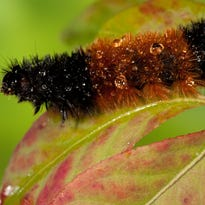 People once used woolly bear caterpillars to forecast winter
