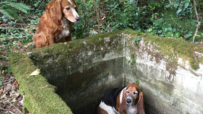 A setter mix dog named Tillie, left, watches over Phoebe, a basset hound who was trapped after falling into  cistern shown at right nearly a week earlier, just before being rescued by searchers on Vashon Island, Wash. Both dogs are owned by BJ Duft, who was on hand, Thursday, Oct. 15, 2015, when Tillie was honored in Olympia, Wash., by Gov. Jay Inslee for her loyalty to Phoebe.