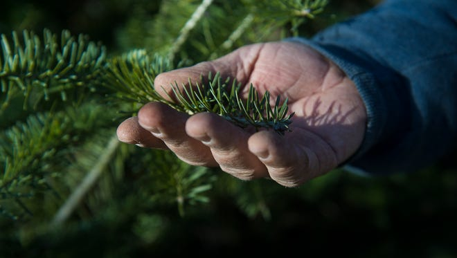 Michael Breighner of Breighner Tree Farm holds needles from one of his trees to show how healthy they are on Dec. 20, 2015 outside of Gettysburg. Breighner said the warm weather is good for the trees as long as they are kept in the ground with the root balls moist. Breighner's trees stay in the ground until customers come to select and cut their own for Christmas.