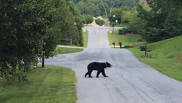 Residents of Ashley Woods say this collared bear has become a regular. The collar is part of the Urban/Suburban Bear Study in Asheville.