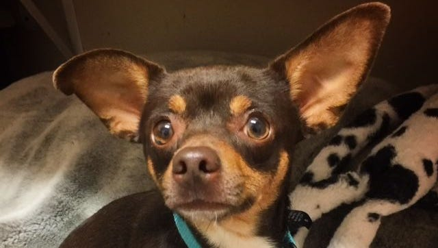 ADOPTED. Poko, a 1-year-old male chihuahua, is available for adoption at Nashville Humane Association.