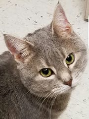 Jayden is a 3-year-old gray tabby girl who is super sweet. She was returned to the shelter because she had trouble adjusting to her new home. She's in our executive director's office so we can give her a chance to get used to life at the shelter. If you'd like a nice companion, stop out to meet Jayden.