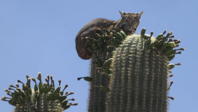 A bobcat perches on top of a saguaro cactus near Phoenix International Raceway.