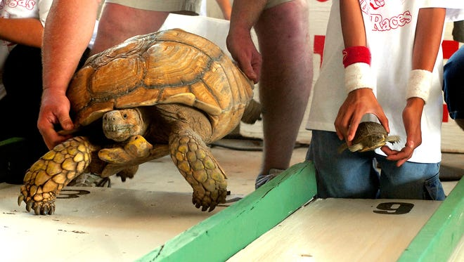 Jumbo, left, an African Spurred Thigh Tortoise, takes on Snappy, a small box turtle in the lane next to him, as turtles of all sizes participate in San Juan Turtle Fiesta Race in 2012