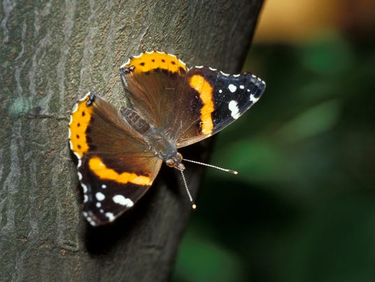 636475543578239841-Red-admiral-4.jpg