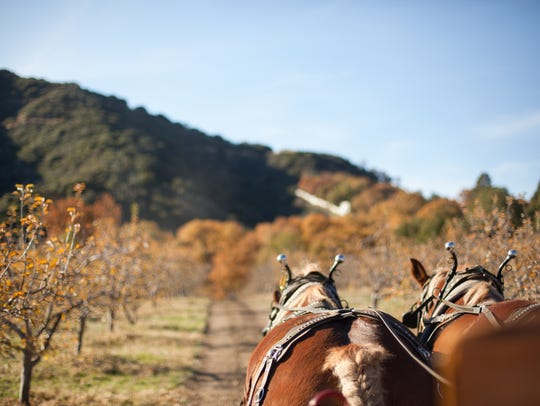 It's apple season in Oak Glen, where more than 30 orchards offer a wide variety of fresh apples and berries already picked or waiting for you to pick yourself. Horse-drawn wagon rides, petting zoos, hiking trails and various other activities can make for a fun escape from the desert heat.