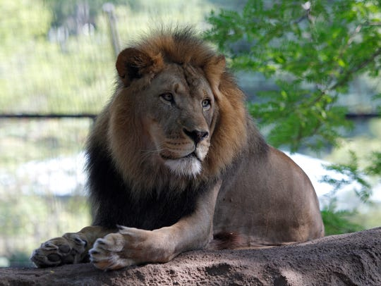 Kota, one of Potter Park Zoo's lions, and the only