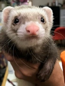 A sable ferret.