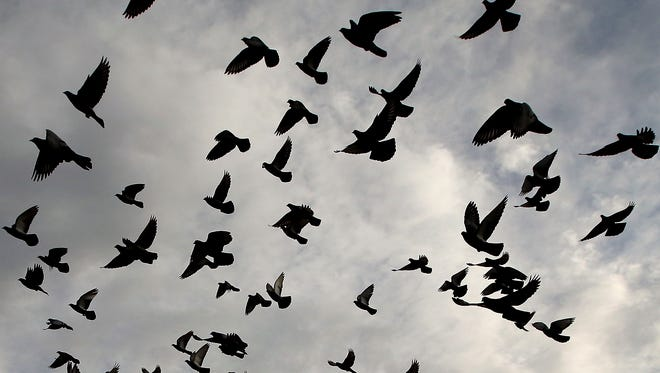 Why are birds downtown Lafayette dying?