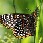 A Baltimore checkerspot spotted at the Buttercup Audubon Sanctuary East (Stanfordville).
