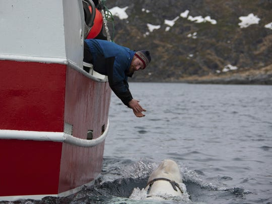 Norwegian fisherman Joar Hesten tries to attract a beluga whale off the northern Norwegian coast Friday, April 26, 2019.
