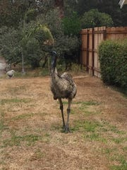 An escaped emu roams Oct. 14 in Tustin, Calif.