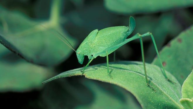 Katydids make their loud, distinctive sound by rubbing their wings together.