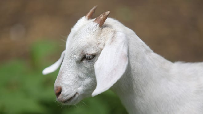 The grants from the Center for Great Neighborhoods will also put goats in Goebel Park in Covington. Here, a baby goat plays in its pen behind a house off McMicken Street in Cincinnati in 2014. Its owner, Beth Cefalu, keeps goats to help keep the grass cut and provide milk.