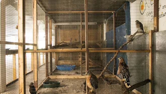 Disabled raptors are seen in an enclosure under the Calusa Nature Center and Planetarium. They are being housed there until a new aviary is built.