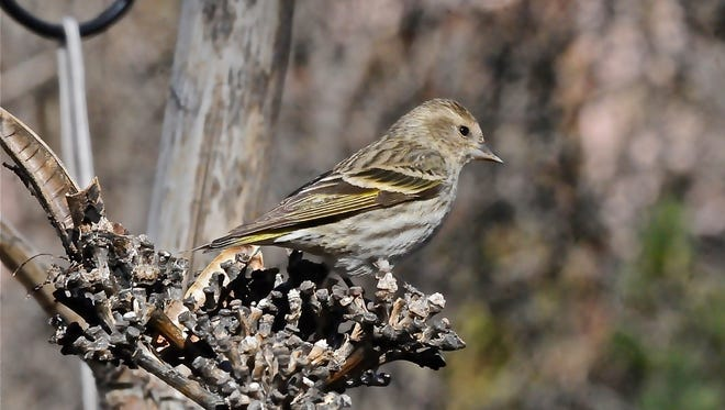 Pine siskins watch as cones develop, staying north as long as seeds last.