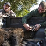 Larry Dupree, of LaBelle, inspects the mouth of the 200-pound female black bear he hunted in Immokalee on during the first day of the 2015 bear hunt.