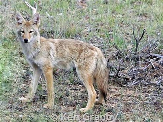 There is no population estimate of coyotes in Montana