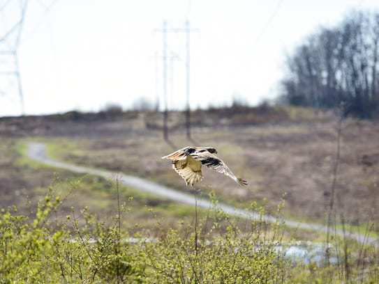 A red-tailed hawk flies toward the treeline after being