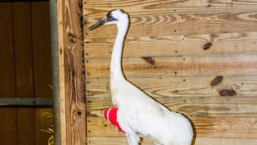 Sad ending for whooping crane who was recovering at the Louisville Zoo
