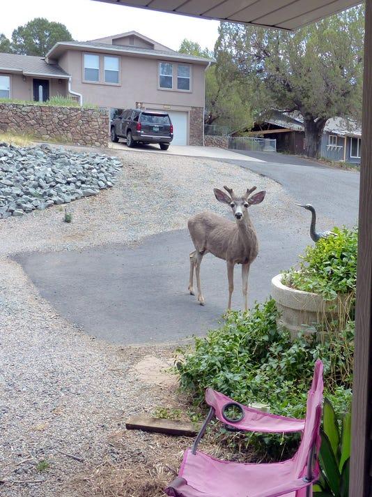 mule deer at front door