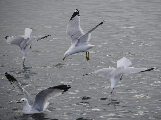 Three gulls begin to dive into Lexington Harbor to