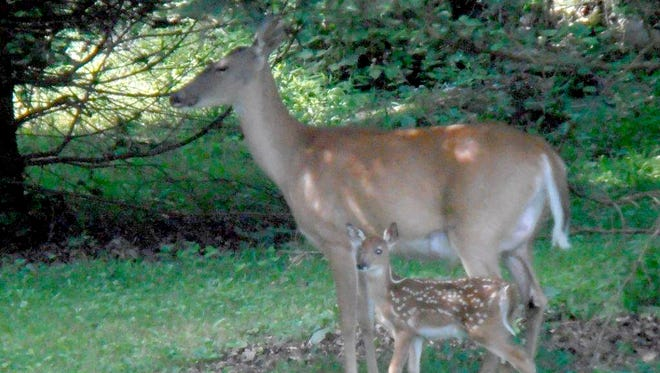 Nancy Heller of Gettysburg shared this photo of her first sighting of a new fawn in her  backyard for this year.